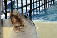 Seal pride (Roving I) Tags: animals wildlife australia pride nsw newsouthwales attractions coffsharbour furseals coffscoast dolphinmarinemagic