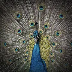 pavone (alright1) Tags: feathers peacock occhi pavone piume andrealazzarotto