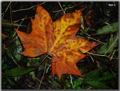 Hoja de otoo (Nati C.) Tags: naturaleza hoja otoo nik hdr efectoorton