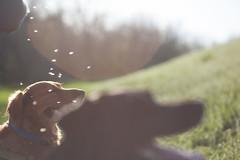 Dandelion shower (Kay Martinez) Tags: park grass sunshine island spring dandelion lensflare kansas winfield dandelionseeds