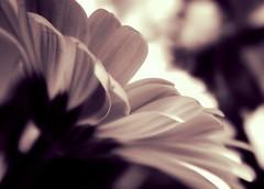 Edge of the flower (~Bella189) Tags: pentax twothumbsup favescontestwinner pentaxk5