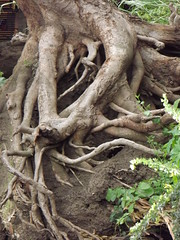 Roots (vincentello) Tags: river south sudan nile nil juba sudsoudan