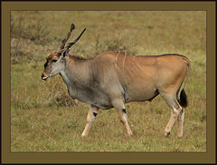 Bull Eland (Rainbirder) Tags: world by giant known was is with kenya some horns ground off lord bull stuff antelope huge his second females showing eland largest strutting raking nearby nairobinationalpark derbys commoneland also rainbirder taurotragusoryxit largestthis
