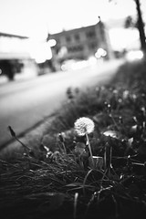 urbane (Matt Hovey) Tags: road street autumn light urban white black flower fall nature grass grey evening weed australia melbourne brunswick dandelion east colorless urbane colourless