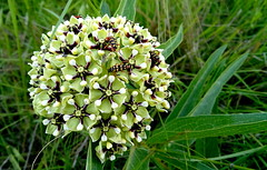Antelope horns (Asclepias asperula) (elnina999) Tags: family flowers red plants southwest floral colors yellow closeup petals desert native indian blanket heads bloom xeriscape wildflowers roadside blooming showy bloomingflower closeupflower prairieflowers