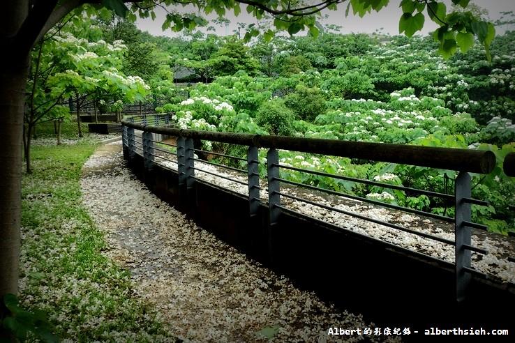 【油桐花】桃園龜山.桃園長庚