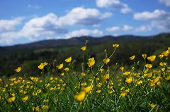 spring field (ΞSSΞ®®Ξ) Tags: flowers sky italy yellow clouds composition countryside spring dof pentax meadow greens lazio k5 ξssξ®®ξ