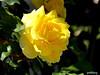 A golden rose in my garden (pat.bluey) Tags: flowers light sunlight green rose gold australia newsouthwales 1001nights mygarden coth supershot flickraward 1001nightsmagiccity hennysgardens sunrays5