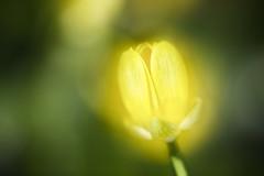 自然光 (Natural Light Bokeh) (Howard L.) Tags: abstract macro canon focus manual manualfocus crocuses howd oaklandlake kenkoextensiontube 135mmf2 oaklandgardens 5dmiii howardlaudesign
