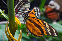 Tiger Longwing Butterfly (Explore 05/02/13) (Bob Decker) Tags: