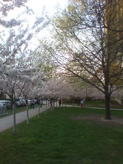 The cherry blossoms of Robarts Library (5) (randyfmcdonald) Tags: toronto spring universityoftoronto cherryblossoms robartslibrary