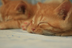 (marina go) Tags: cute kitten kitty kittens cutecat gingercat cutekittens gingerkitten gingerkitty gingerkittens