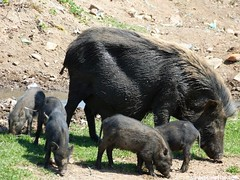"Boar family • <a style=""font-size:0.8em;"" href=""http://www.flickr.com/photos/92957341@N07/8750511362/"" target=""_blank"">View on Flickr</a>"