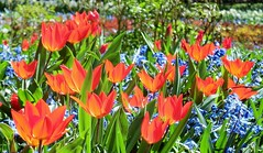 Red Spring (farmspeedracer) Tags: red orange plant flower green nature floral spring lavender