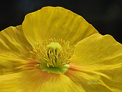 Yellow Papaver (abrideu) Tags: flower macro yellow ngc papaver onmybalcony abrideu fleursetpaysages blinkagain dcmtz20