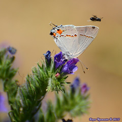 Hairstreak and the streaker (Pristine Illusion) Tags: california butterfly flora sanfranciscobayarea wildflowers phacelia haywardca sanfranciscobaytrail strymonmelinus haywardregionalshoreline greyhairstreak alamedaco ebparksok
