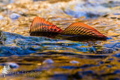 Grayling (Erik Lindblom Photography) Tags: red nature water colors animals closeup fauna river photo spring stream image colorfull picture pic s photograph dorsal spawn spawning fin grayling