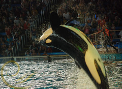 Unna (GypsySkye7) Tags: sanantonio believe seaworld shamu killerwhale unna captivity shamurocks