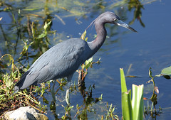 IMG_4040 Little Blue Heron (Cliff Buckton) Tags: florida littleblueheron