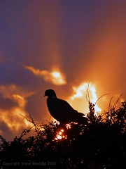 Woodpigeon of the Apocalypse two of two (Bull of the Bog) Tags: sunset silhouette norfolk apocalypse orage hunstanton woodpigeon thewash panasoniclumixtz30