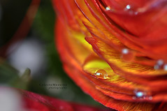 La laureata #3 (Celeste Messina) Tags: flowers light red orange detail macro reflection art primavera nature water yellow composition garden photography photo petals drops spring nikon focus waterdrop colours foto buttercup artistic blossom graduation natura ranunculus drop pistil particular giallo bouquet fiori 90mm acqua rosso petali colori arancio luce laurea corolla giardino arancione celeste ranuncolo riflesso composizione goccia dettaglio sfocato pistillo universitydegree distorto d5000