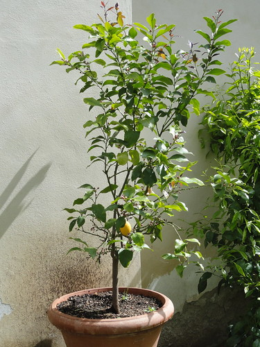 Lemon tree in Giardino di San Marco