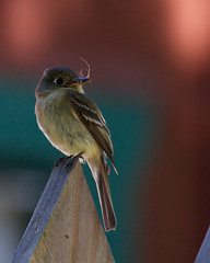 Pacific-slope Flycatcher (Tom Clifton) Tags: birding pointlobos flycatcher