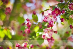 I like pink (jeannie_thiessen) Tags: pink flower spring gardening ilovethistree iwishitbloomedallyear ihavetotakelotsofphotoscauseitdoesntbloomlong