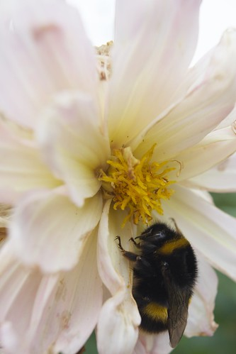 Bumble bee on a flower 3