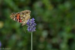 IMG_4906 (ElsSchepers) Tags: limburglavendel lavendelhoeve stokrooie kuringen hasselt natuur vlinders