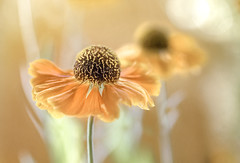 Helenium (Mandy Disher) Tags: helenium summer garden flower floral flora orange yellow