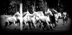 Javier Lencina y sus Blancos (Eduardo Amorim) Tags: cavalos caballos horses chevaux cavalli pferde caballo horse cheval cavallo pferd cavalo cavall tropilla tropilha herd tropillas tropilhas     crioulo criollo crioulos criollos cavalocrioulo cavaloscrioulos caballocriollo caballoscriollos ayacucho provinciadebuenosaires buenosairesprovince argentina sudamrica sdamerika suramrica amricadosul southamerica amriquedusud americameridionale amricadelsur americadelsud eduardoamorim gaucho gauchos gacho gachos