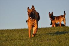 DSC_0774 (IN CANIS SPERAMUS) Tags: belgianshepherd malinois dog dogtraining puppy servicedog dogtrainer incanissperamus