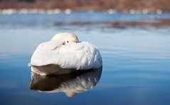 Friendly whooper swan. (K16mix) Tags: japan miyagi kejonuma swan lake whooperswan water blue nature wildlife wildbird ramsarconvention osakishi animal