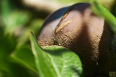 [Plum] Mildew (Tonio_Coni) Tags: mildew coni plum prune quetsche pentaxk3 pentaxart sigma70mmmacro justpentax fruit summer mold moisissure macro