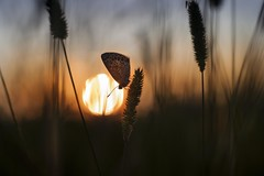 Evening meadow (frantiekl) Tags: butterfly meadow evening dawn sunset serene harmony detail sun depthoffield nature outdoor goldenhour bohemia