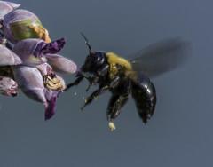 Bee_SAF3359-1 (sara97) Tags: bee copyright2016saraannefinke flyinginsect insect missouri nature outdoors photobysaraannefinke pollinator saintlouis towergrovepark urbanpark wildlife