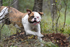 Dogfun (alokD7200) Tags: dog playingdogs bos nederland netherlands veluwe fun running playing play green jump jumping shetanbullsbrick shetanbulls amerikaansebulldog americanbulldog hond bestfriend nikon nikond7200 d7200 2016 september rennen run action pet pets hund athlete actiefoto bully forest woods face happy happydog daylight daytime brindle brown athletic strong power beginner holland tak tree ears smile hondenfotografie hobby