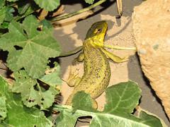 Lagarto chileno / Lagarto llorn (Liolaemus chiliensis) (Pablo Moreno V) Tags: lagartolloron lagartochileno liolaemuschiliensis lagartija reptil chile canon