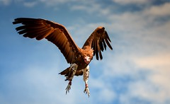Wolfkopfgeier im Flug (Delbrckerin) Tags: geier vulture greifvogel vogel bird tier animal outdoor nikond90 sigma150600mm