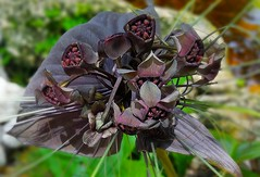 Black Bat Flower (Tacca chantrieri) 2 of 2 (Helenɑ) Tags: taccachantrieri batflower catswhiskers devilflower blackbatflower yam dioscoreaceae samsungsmg935a samsunggalaxys7edge plant blossom