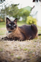 Miki (pablofalv) Tags: 2016 agosto asturias cat gato jardin miki pet santirso siames siamese candamo principadodeasturias espaa es