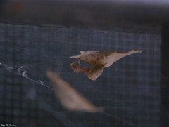 Uloborus spider again (Geminiature Nature+Landscape Photography Mallorca) Tags: uloboridae uloborus ulobridos spiders spinnen araas eggs eggsac cocon cocoon case mallorca macro raynox250 raynox dcr250 250 eitjes huevos bolsa wielwebkaardespinnen orb weavers