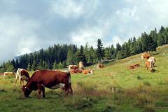 Pre-raphaelite cows on Velika Planina, Slovenia (dianora77) Tags: cows preraphaelite williamholmanhunt alps velikaplanina slovenia