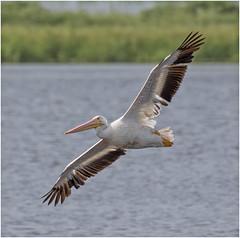 American White Pelican- (billkominsky ) Tags: naturethroughthelens
