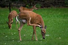 EarItch (jmishefske) Tags: greenfield county wildlife buck d7100 westallis whitetail wisconsin august fawn park 2016 nikon deer milwaukee