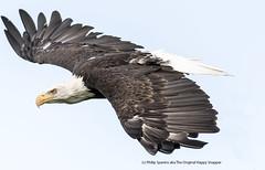Bald Eagle in flight (The Original Happy Snapper) Tags: haliaeetusleucocephalus baldeagle flight bird birdofprey rapptor feathers nature