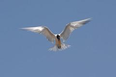 Elegant Tern (linda m bell) Tags: bolsachica ecologicalreserve 2016 california wetlands socal birds birdwatching eleganttern fly