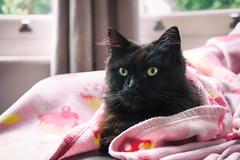 Freddie Farr (cuppyuppycake) Tags: freddy cat pet cozy lazy sunday nikon d7200 happy memories sofa couch window