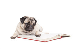 cute pug dog puppy lying down and reading book (monicaclick) Tags: adorable animal book canine cute dog encyclopedia enjoying erudite funny fur furry information intellectual lecture lifestyle literature looking lookingat oldfashion oldskool paw pet philosophical pretty professor pug puppy reading reads school selfcultivation smart student studies study studying whitebackground